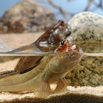 Mudskipper in aquarium