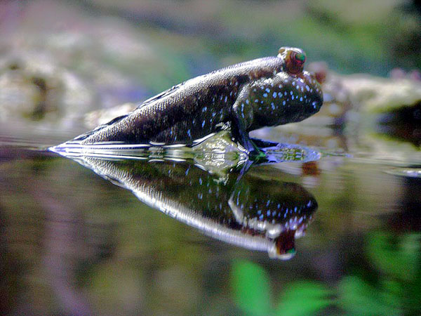 Mudskipper on surface wallpaper
