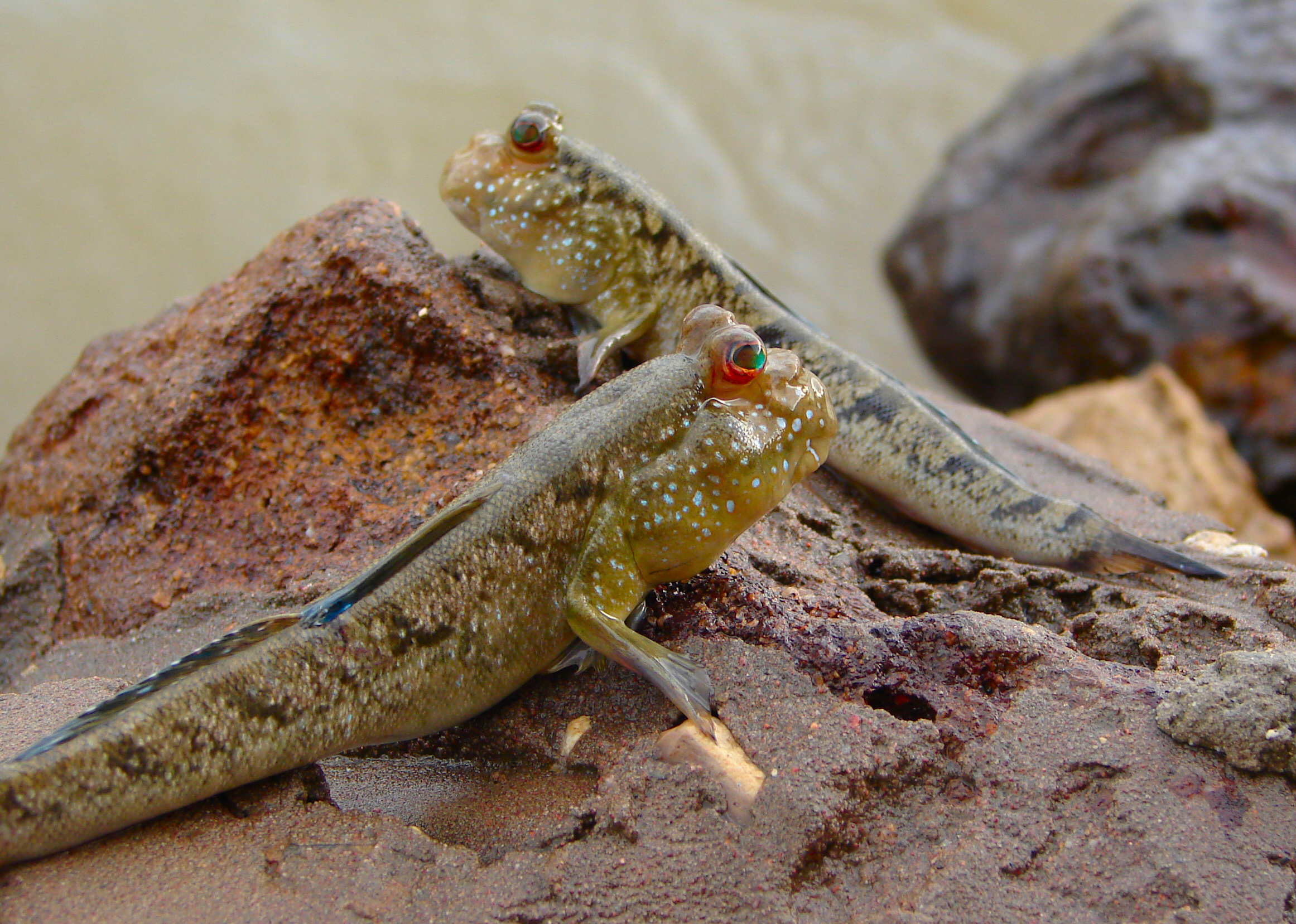 Mudskipper wallpaper