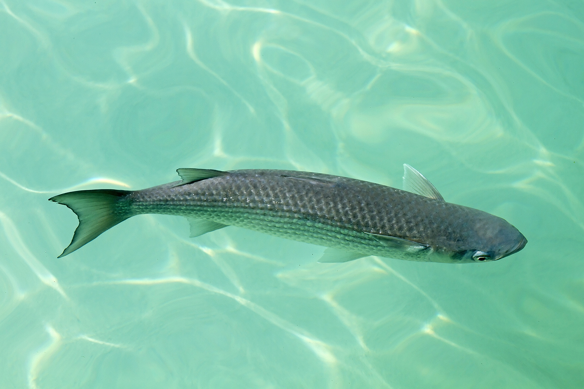Mullet on the surface photo and wallpaper cute mullet on for Mullet fish florida