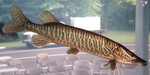 Muskellunge swims