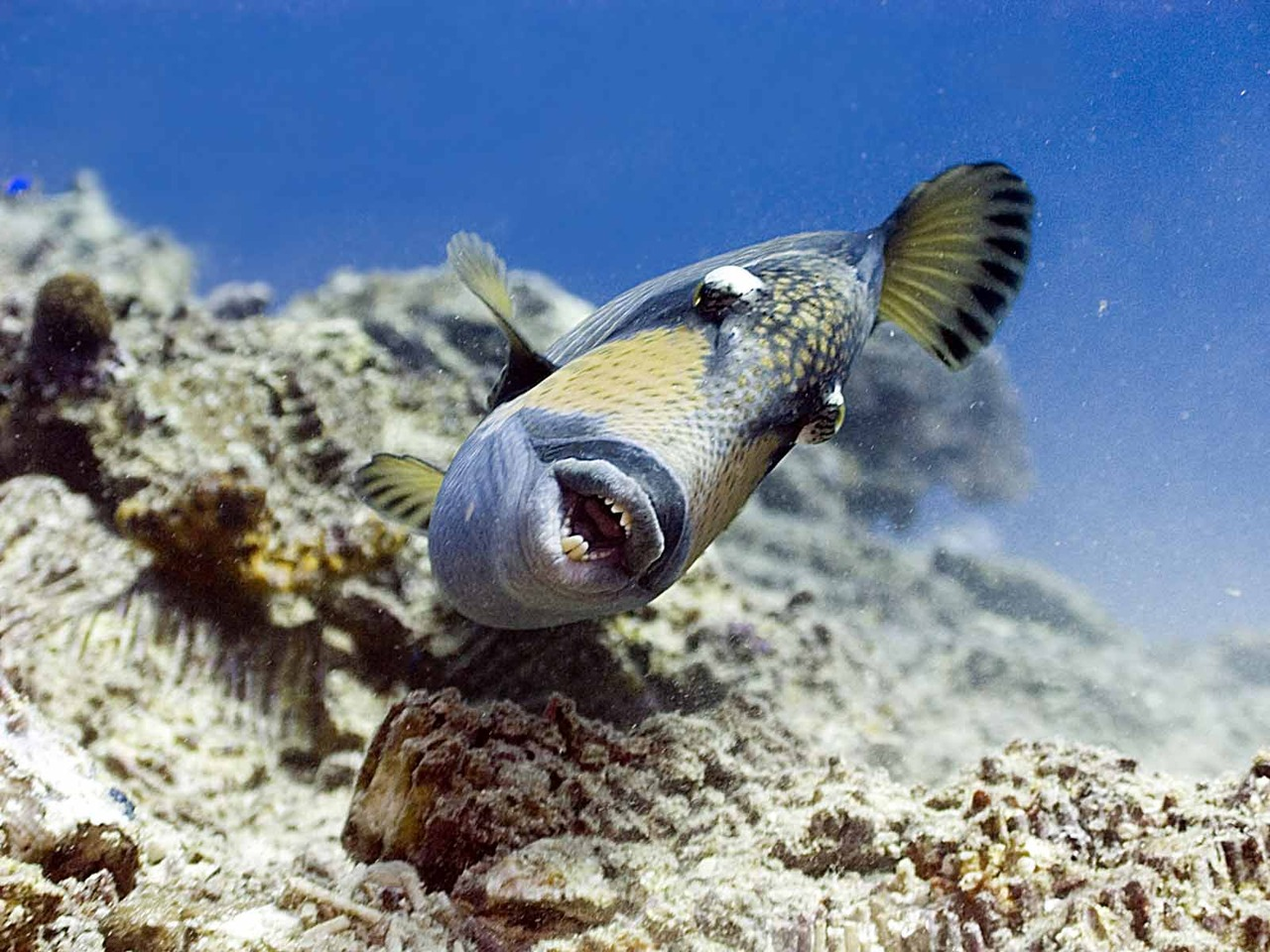 Mustache triggerfish in the rocks wallpaper