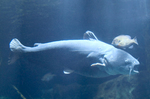 National blue catfish