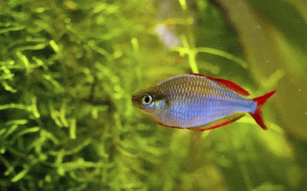 Neon rainbowfish wallpaper