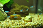 Neon tetra fishes in aquarium
