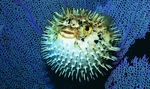 Nice blowfish