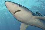 Nice Blue shark