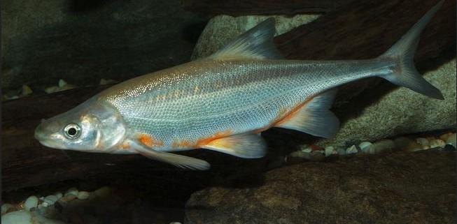 Красивая рыба породы Бонатаил фото
