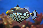 Nice clown triggerfish