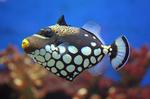 Nice clown triggerfish