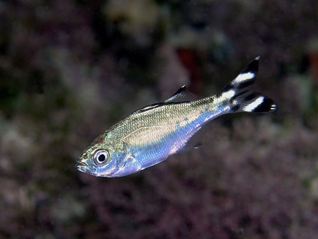 Красивая рыба окунеподобного вида Кулия фото