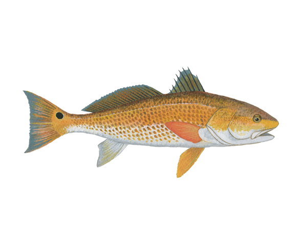 Nice Redfish  wallpaper