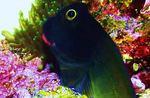 Красивая красногубая морская собачка