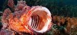 Nice Scorpionfish