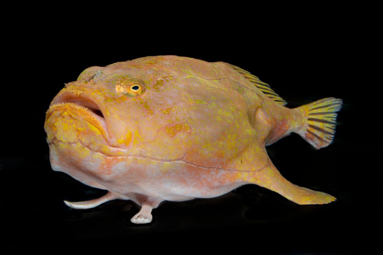 Милая хаунаксовая рыба фото