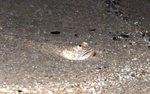 Nice Southern sandfish