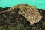 Nice Squarehead catfish
