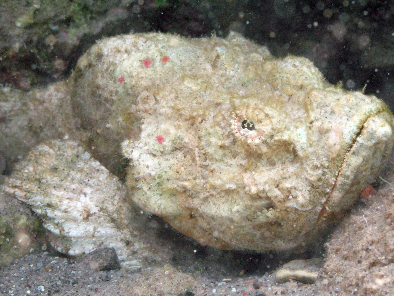 Nice Stonefish wallpaper