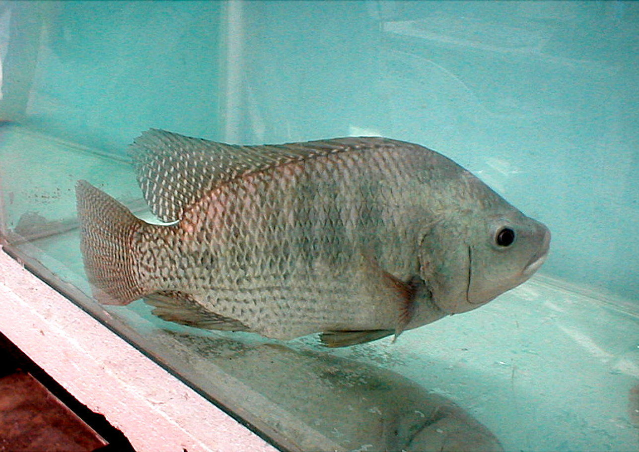 Nice tilapia photo and wallpaper cute nice tilapia pictures for Fishing for tilapia