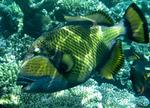 Nice Titan triggerfish