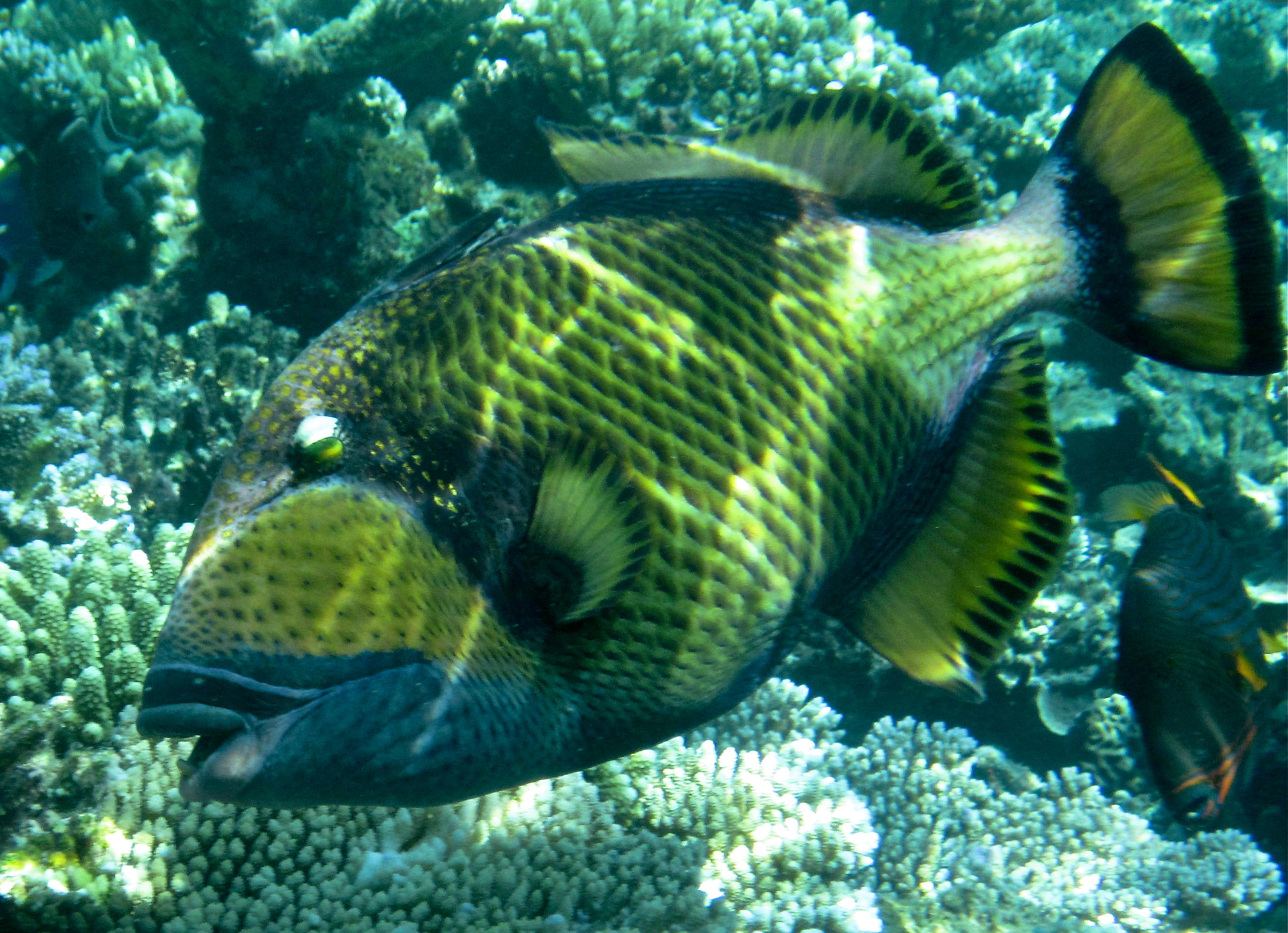 Nice Titan triggerfish wallpaper