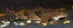 Nice Torrent fish