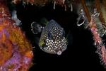 Nice Trunkfish