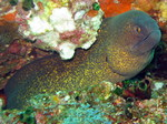Nice Yellow-edged moray
