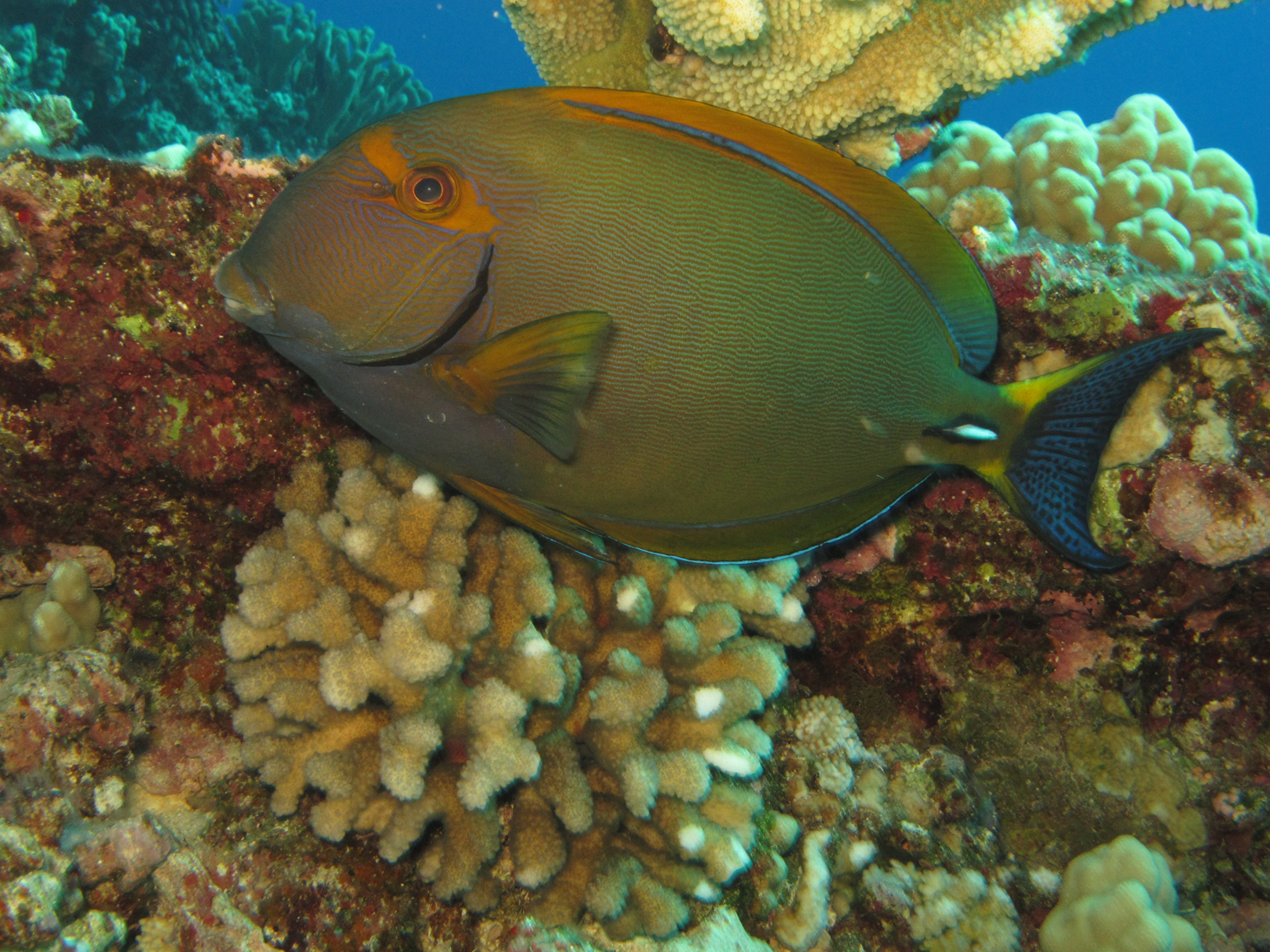 Nice Yellowfin surgeonfish wallpaper