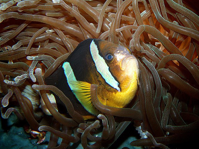 Nice Yellowtail clownfish  wallpaper