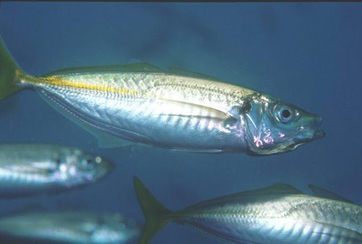 Nice Yellowtail horse mackerel wallpaper