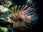 Nice Zebra lionfish