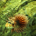 Nice Zebra turkeyfish