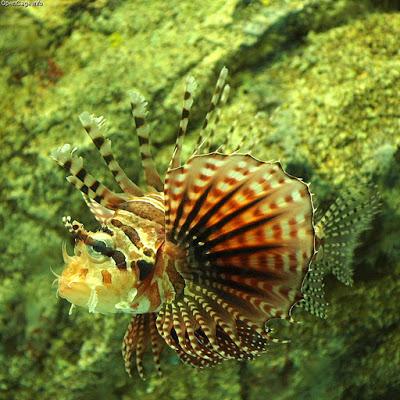 Милая полосатая рыба-индюк фото