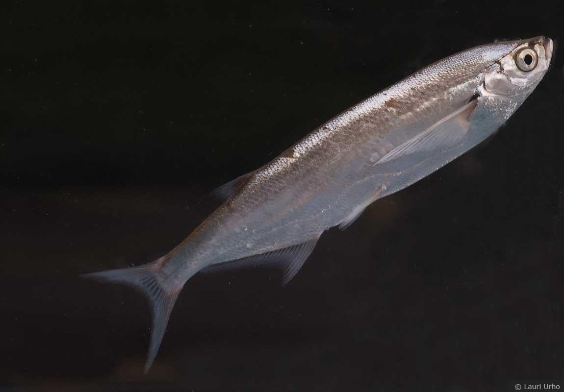 Милая рыба породы Чехонь фото