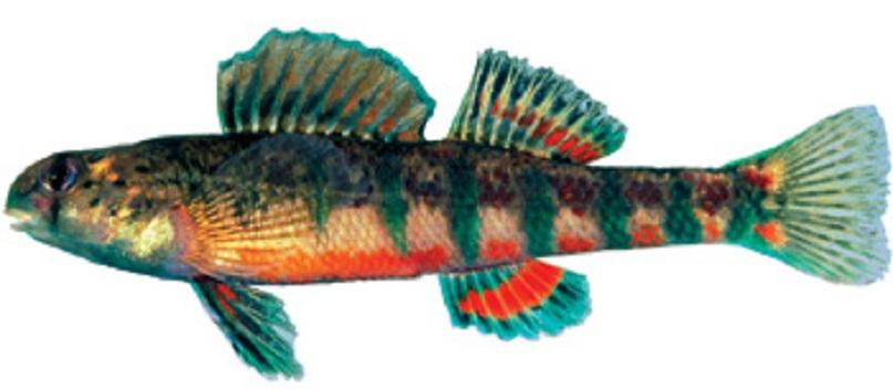 North American freshwater catfish wallpaper
