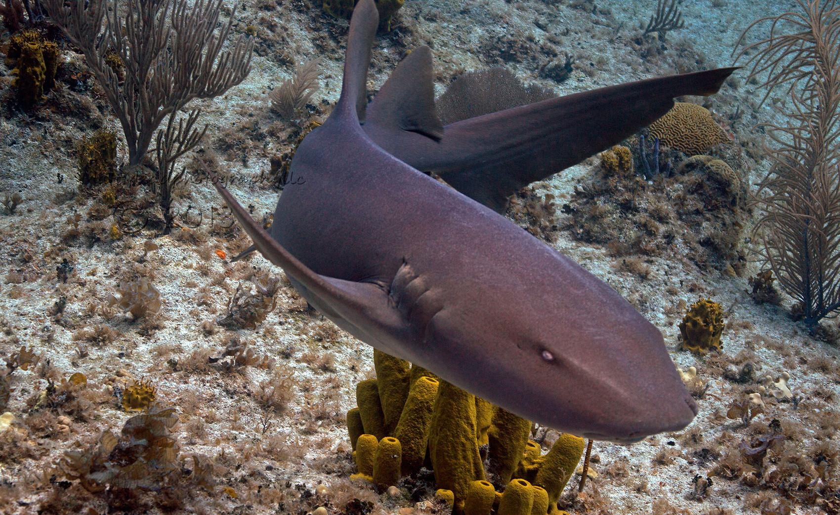 Усатая акула-нянька фото