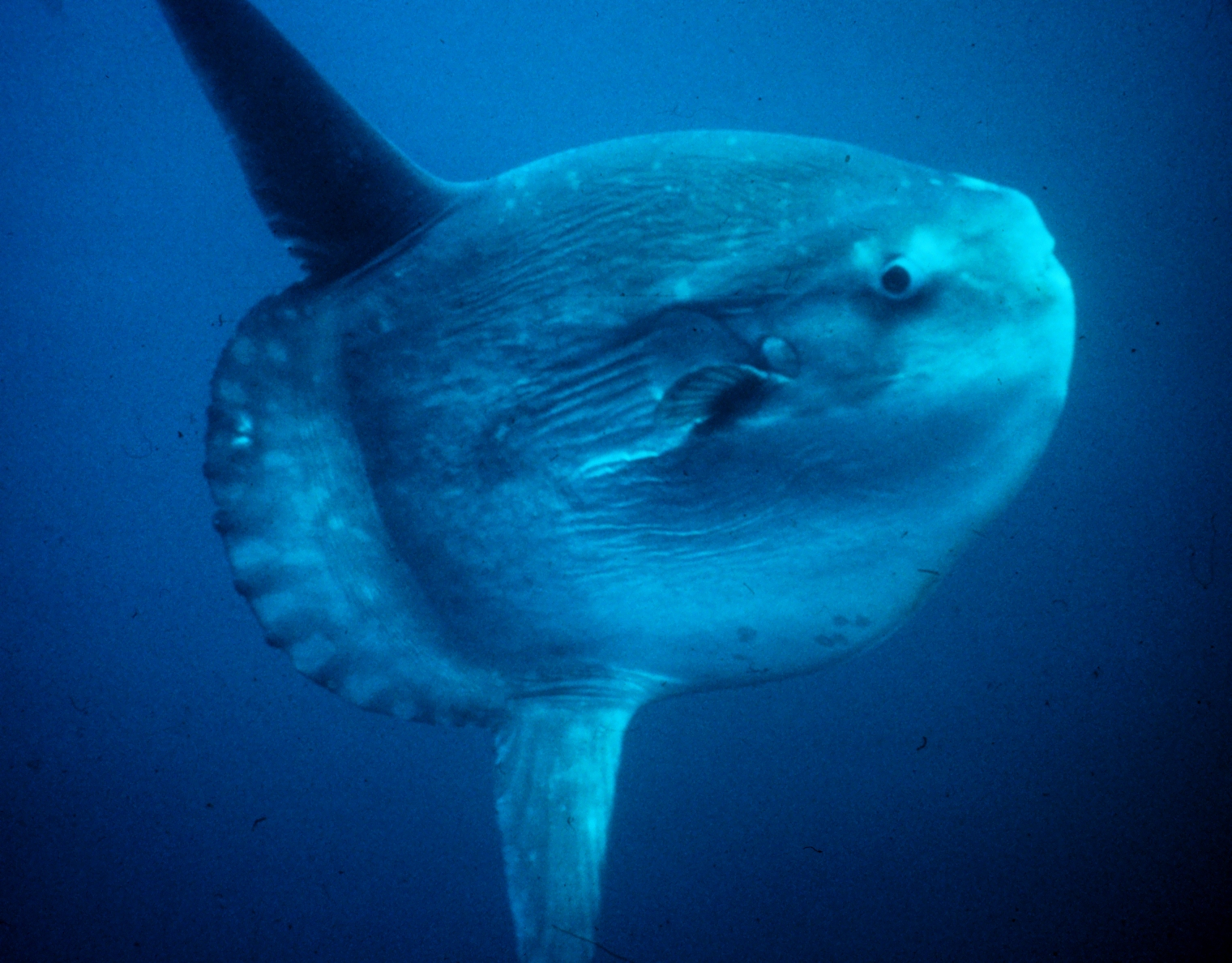 Ocean sunfish wallpaper