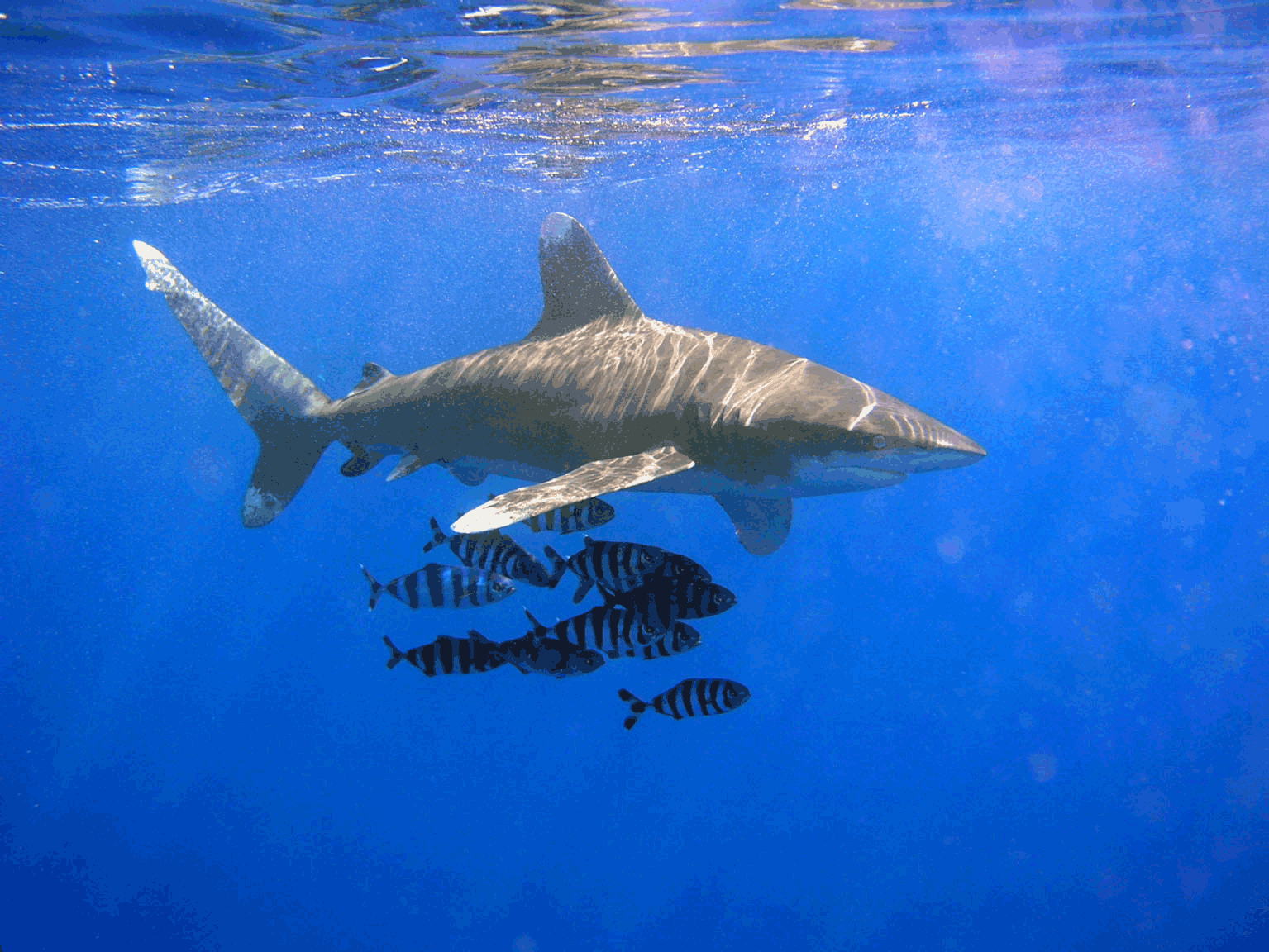 Oceanic whitetip shark wallpaper