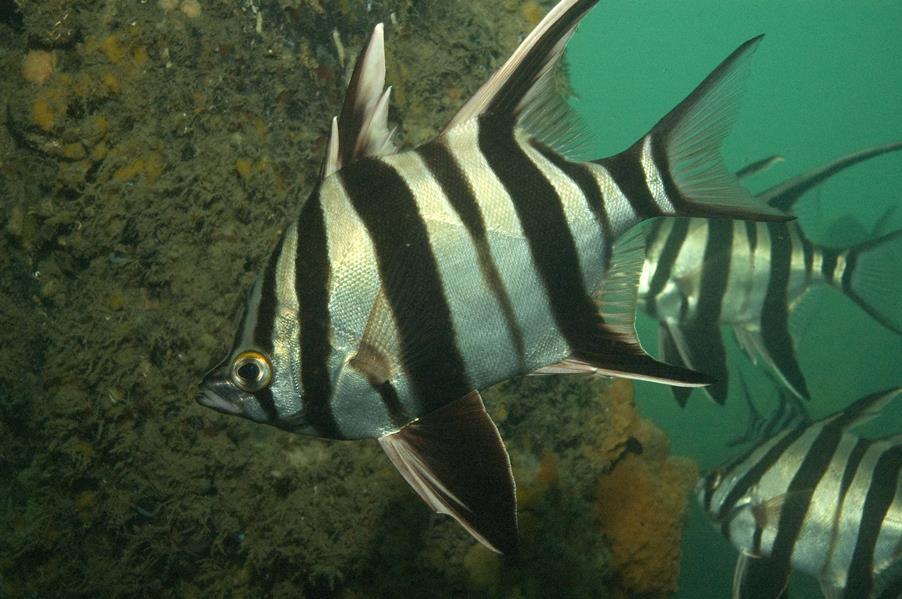 Oldwife fish wallpaper