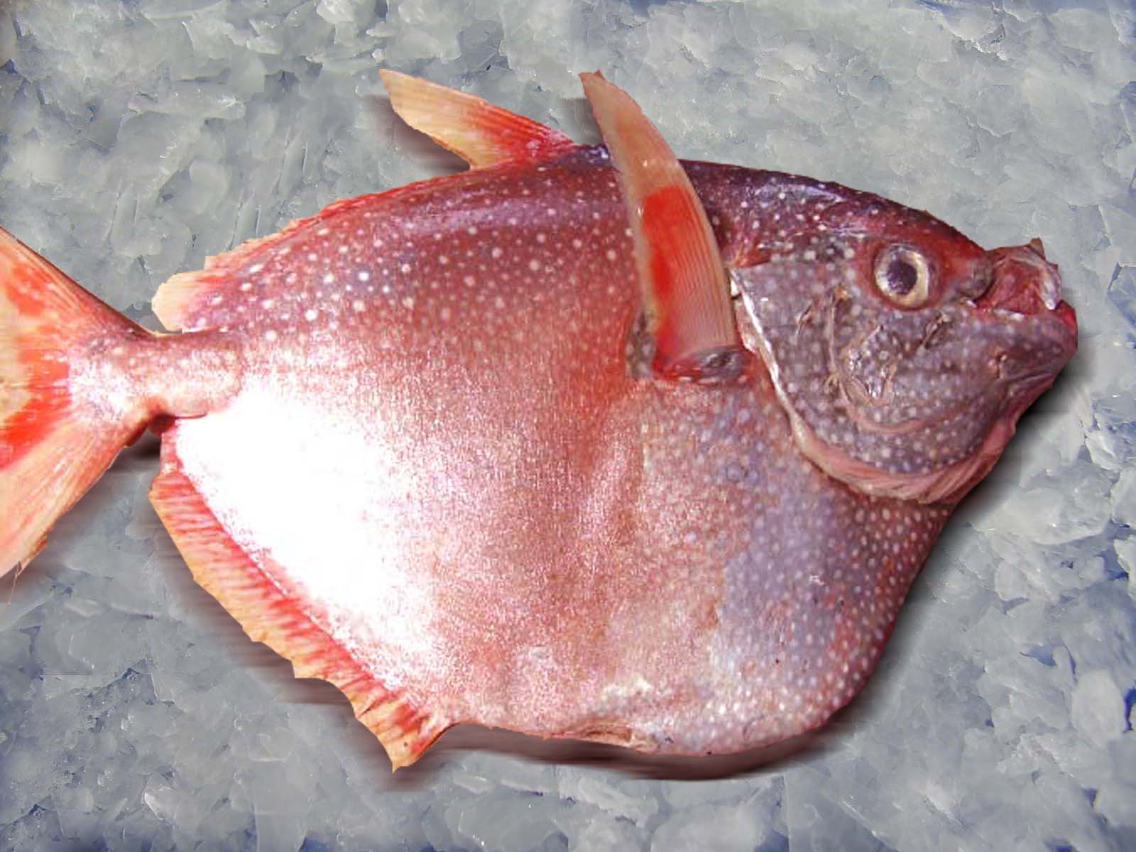 Opah moonfish wallpaper