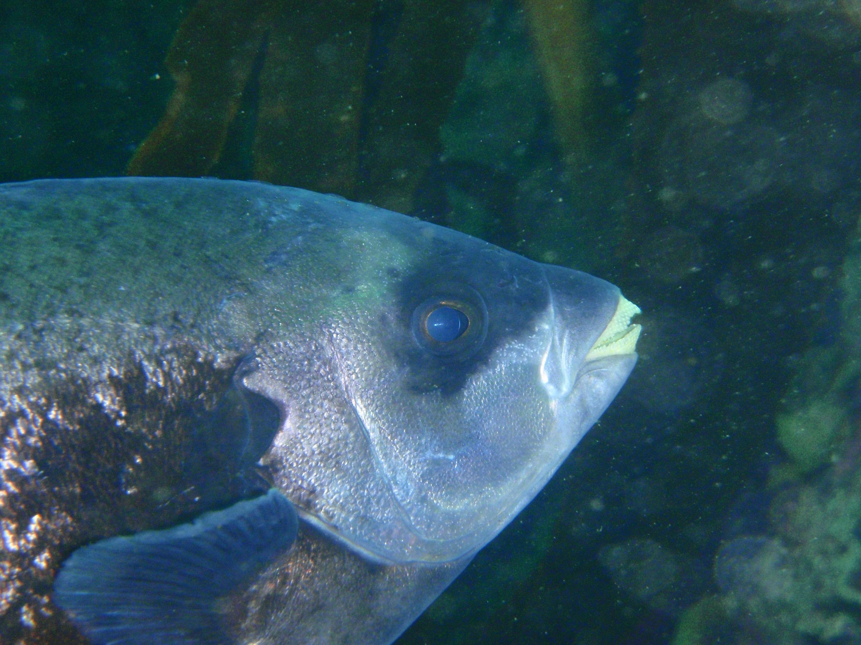 Рыба семества Оплегантус фото