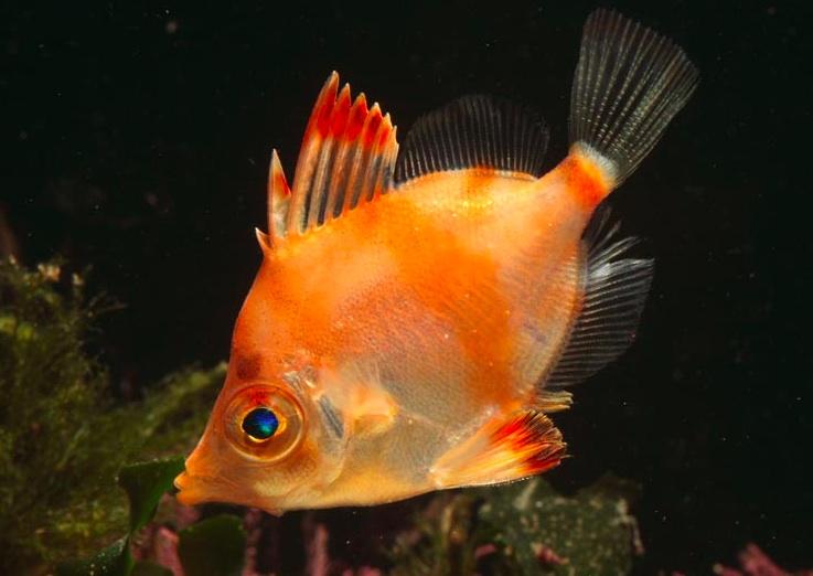 Оранжевая рыба кабан фото