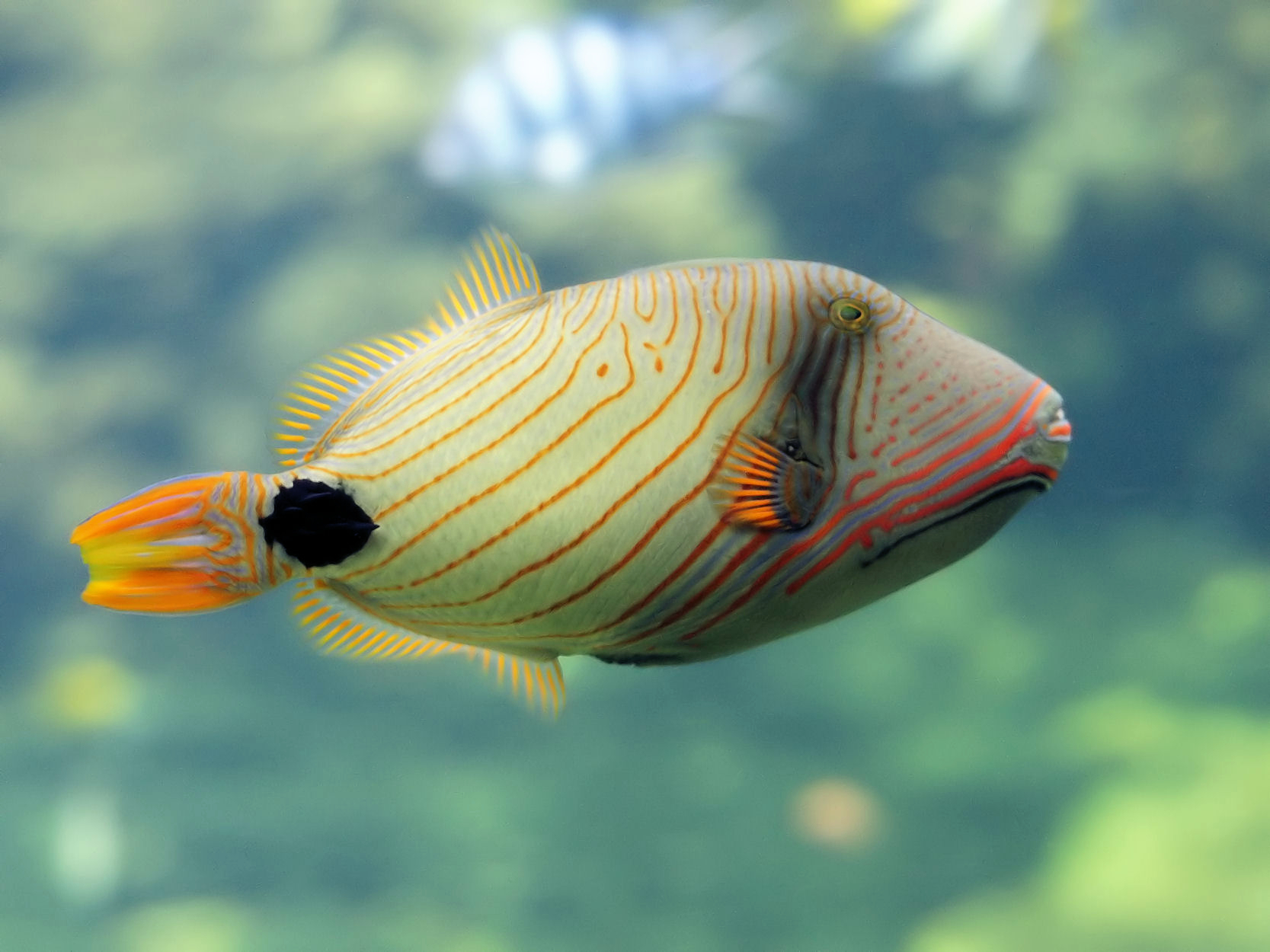 Orange lined triggerfish wallpaper