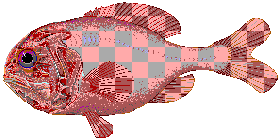 Orange roughy wallpaper