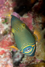 Orangestriped triggerfish front view