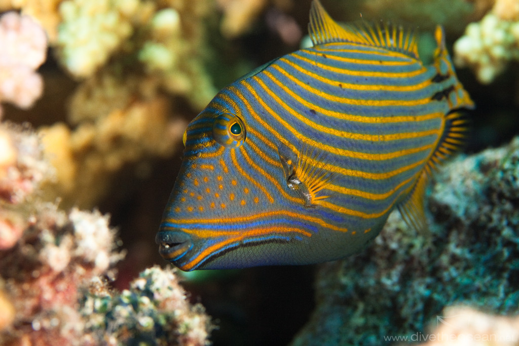 Orangestriped triggerfish in the rocks wallpaper