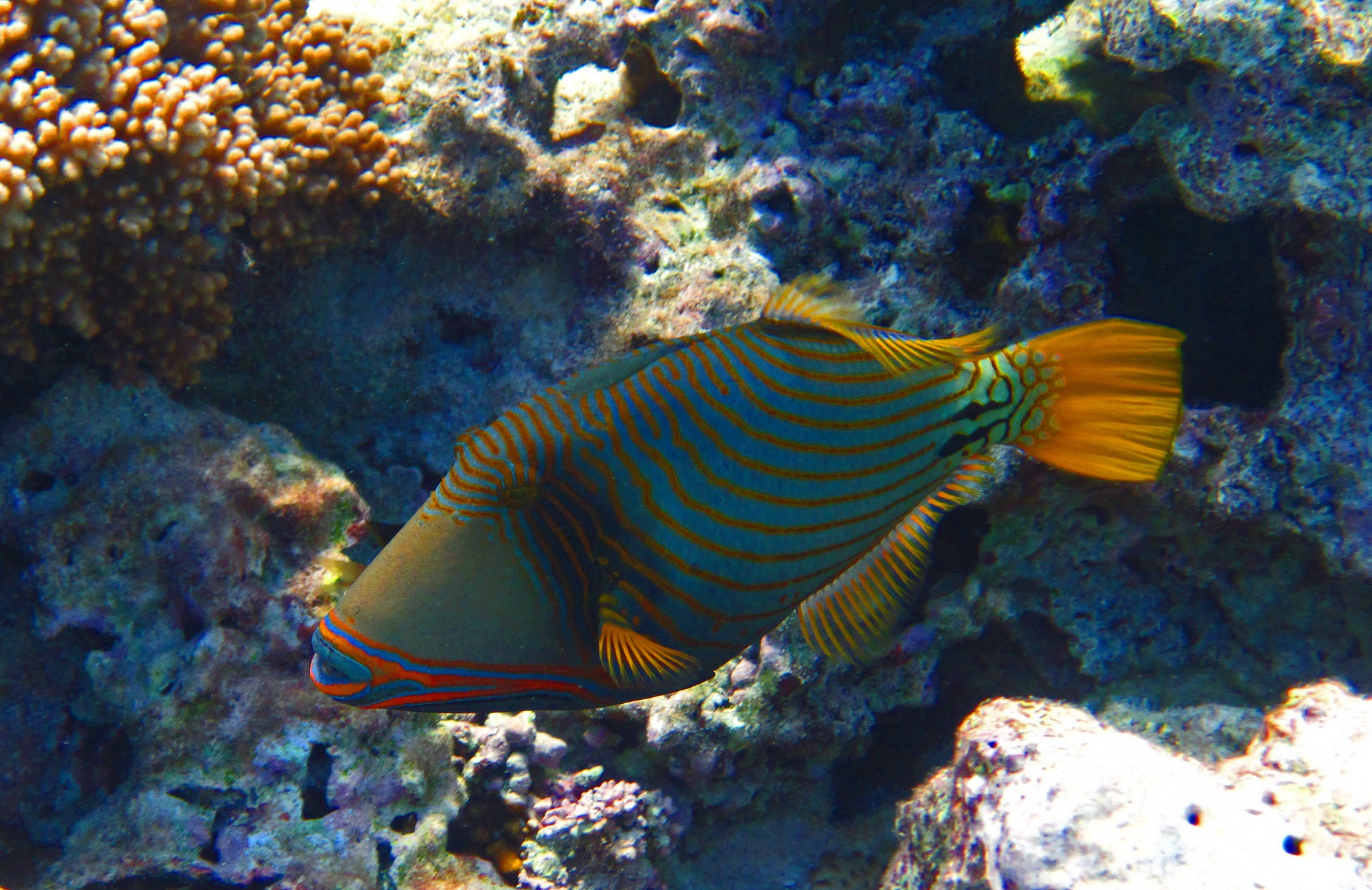 Orangestriped triggerfish swims wallpaper