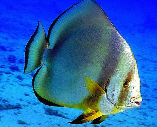 Orbicularis batfish wallpaper
