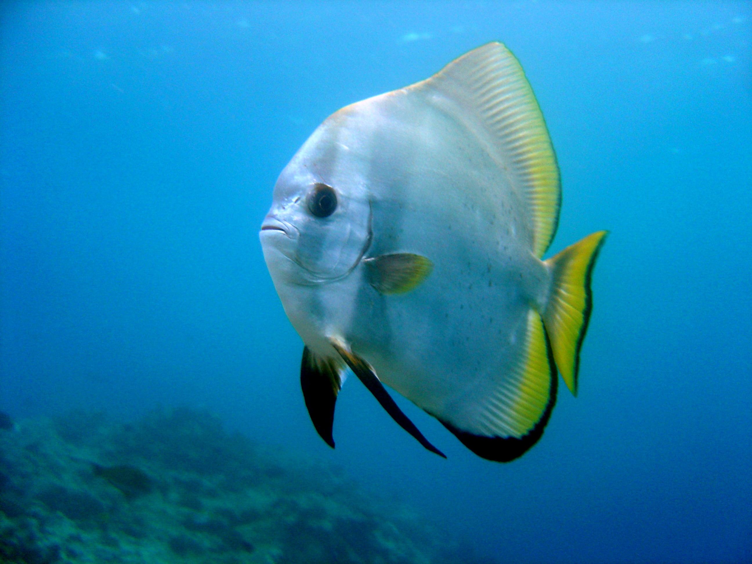 Orbicularis batfishes swims wallpaper